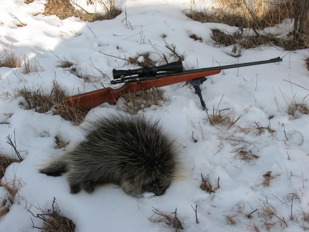 How to trap a porcupine by gun